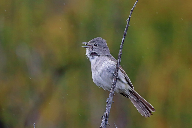 Grey Vireo, Cleveland National Forest, San Diego, California