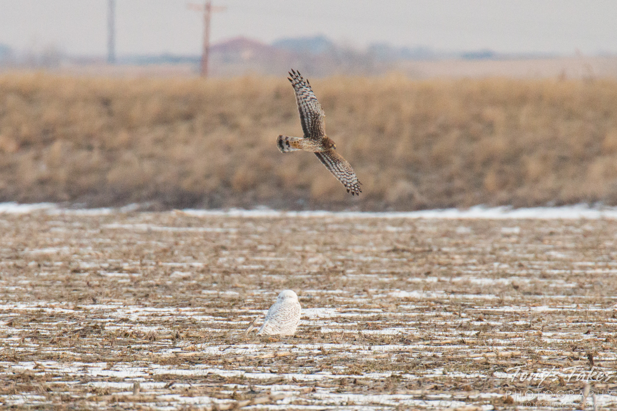 Northern Harrier hassles a Snowy Owl
