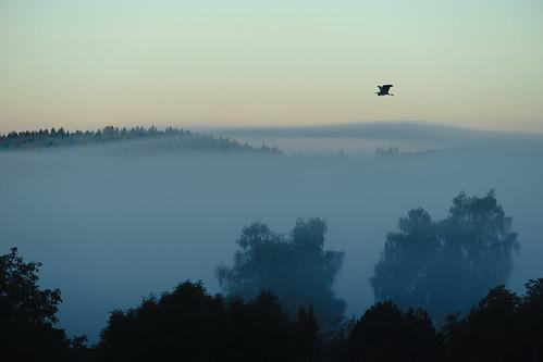 Graureiher über dem morgendlichen Haistertal.jpg
