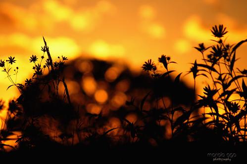 park flowers sunset summer orange plants tree silhouette evening glow bokeh dusk meadow thegalaxy