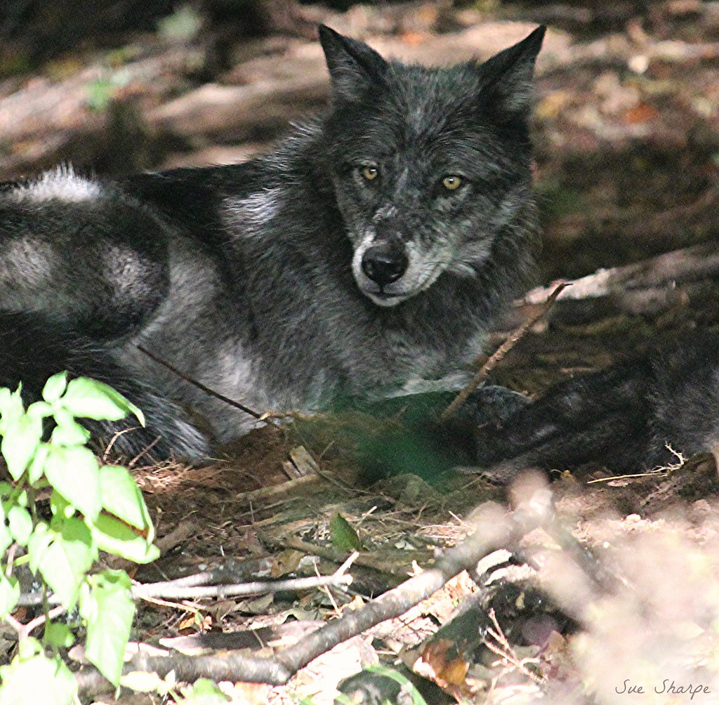 Grey Wolf - Alpha Female (Luna) | This is the mother of the