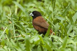 Chestnut Munia - Palawan - Philippines_H8O0544