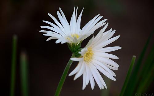 flower nikon twin siamese gerbera gerberadaisy twinflowers conjoineddaisy