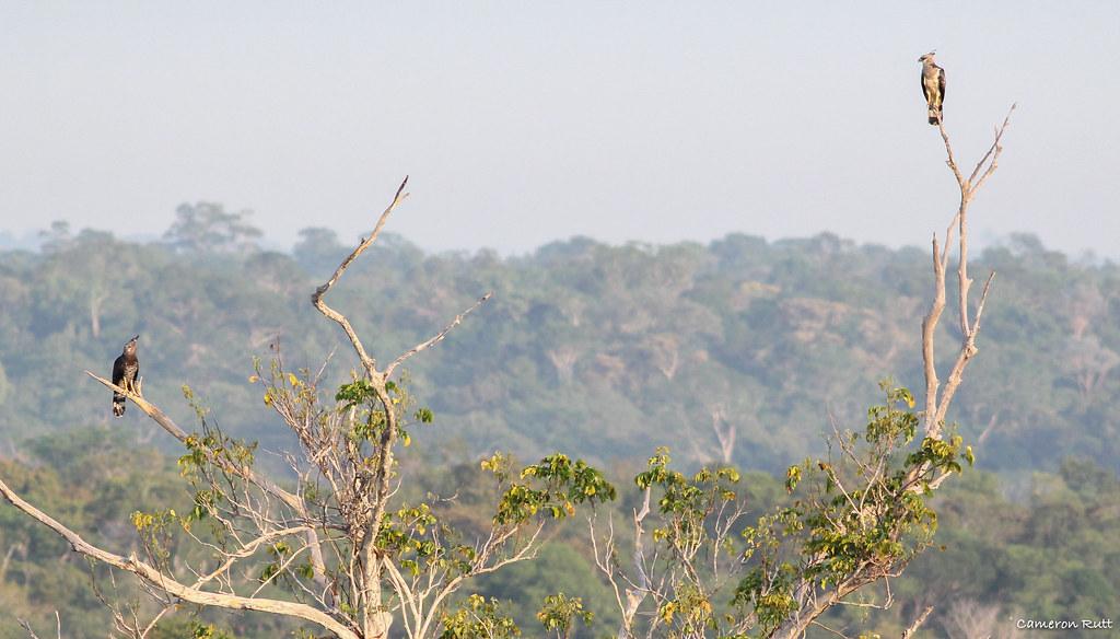 Crested Eagle (Morphnus guianensis) pair