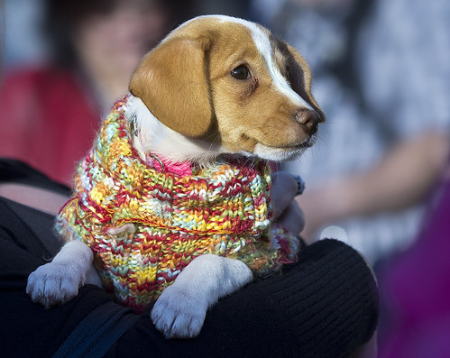 Puppy Love  1/2 beagle  1/2 dachshund | by watts_photos