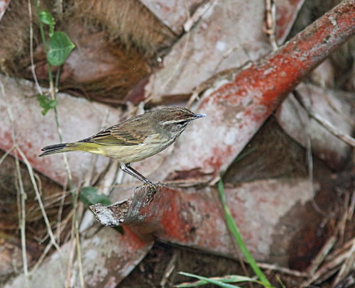 Palm Warbler on Cabbage Palm trunk 2-20161202