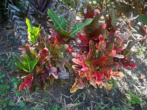 'Oakleaf' Croton (codiaeum variegatum) | by Javierahr