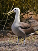 Waved Albatross (Phoebastria irrorata) by james_bunce