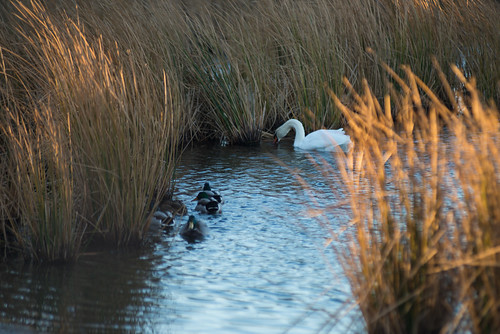 capecod sunrise oysterpond swan ducks