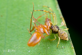 Crab spider (Thomisidae) - DSC_1952