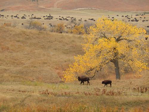 Custer State Park - bizons - 1