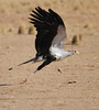 Secretary Bird- ready for take off by Wild Chroma