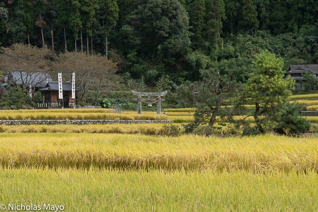 Torii Gate In The Rice Fields