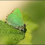Green Hairstreak resting