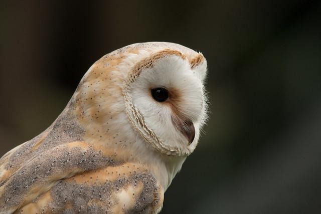 BARN OWL - DISPLAY