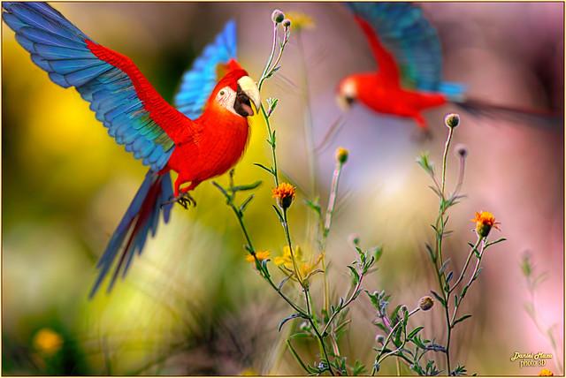 Papagayos (parrots at ground level)