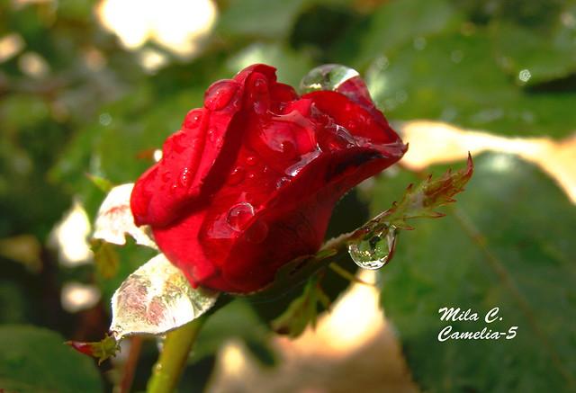 Pasión por las rosas..!!