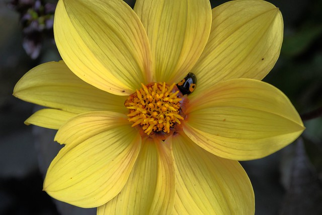 Beautiful yellow flower with ladybird -  Aug.2015