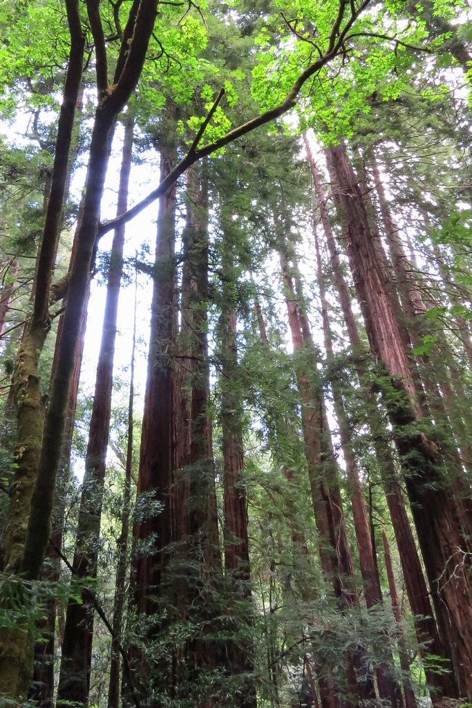 Family Circle Of Redwood Trees Muir Woods National Monumen