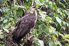 Juvenile great black hawk (Buteogallus urubitinga) by Ron Winkler nature