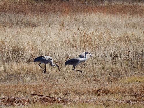 Bosque del Apache NWR - Sandhill Cranes
