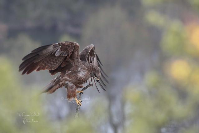 Aïda, Milan noir ( Milvus migrans ) Black Kite #1108