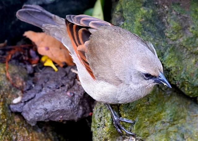 Tordo Músico / Bay-Winged Cowbird / Agelaioides badius