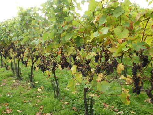 Vines OLYMPUS DIGITAL CAMERA