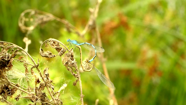 Common Blue Damselfly coupling