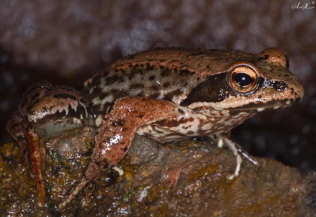 Rã-ibérica, Iberian Frog(Rana iberica) - em Liberdade [in WildLife]