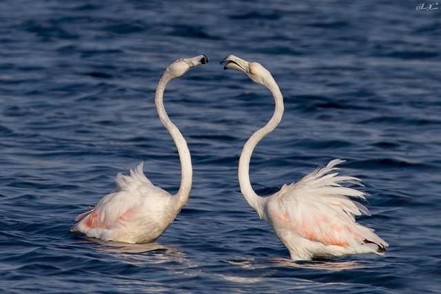 Flamingo-comum, Greater Flamingo (Phoenicopterus roseus) - em Liberdade  [WildLife]