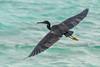 Pacific Reef Egret by arnewuensche66