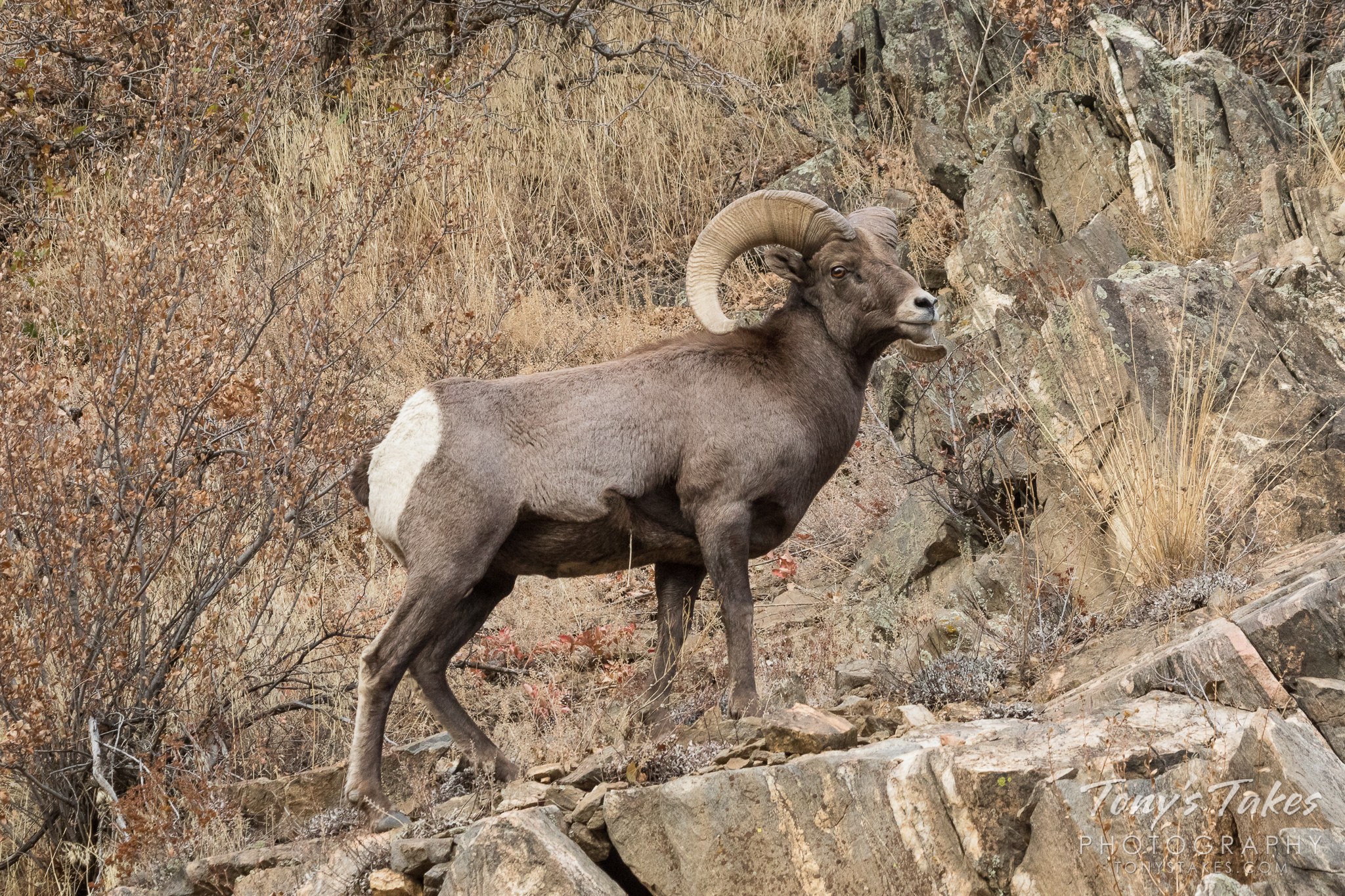 A Bighorn Sheep ram poses on the side of Waterton Canyon, Colorado.  (© Tony's Takes)