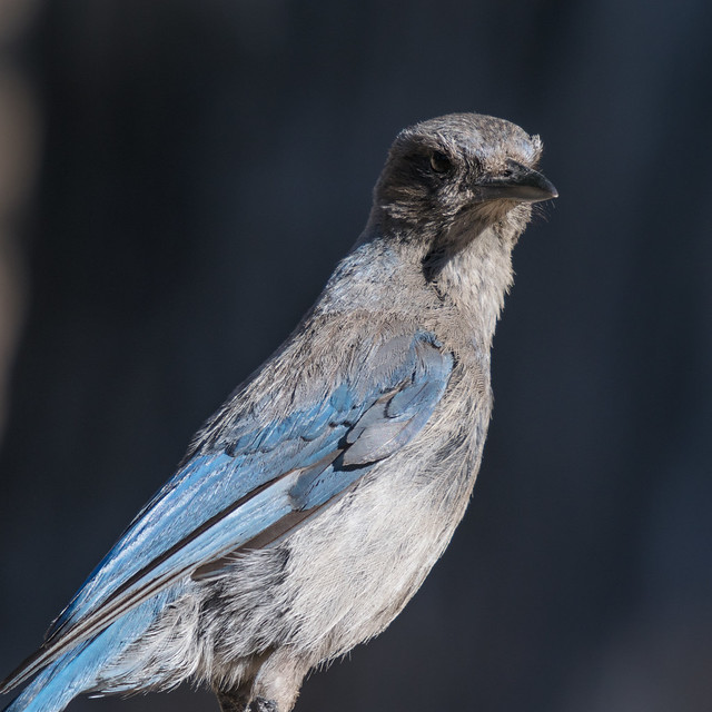 Juvenile Woodhouse's scrub-jay