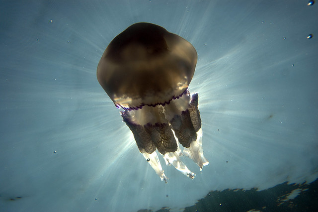 Shiff arms jellyfish (Rhizostoma pulmo)