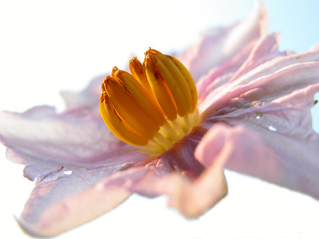 Flor de la berenjena (Solanum melongena) (283)