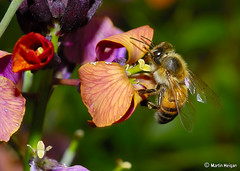 Bee pollinating a Wallflower | by Martin_Heigan