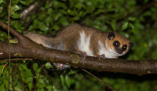 Amber Mountain Dwarf Lemur
