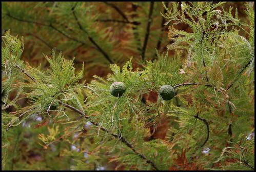 Taxodium distichum - cyprès chauve, cyprès de Louisiane  22605091445_d816d9d66f