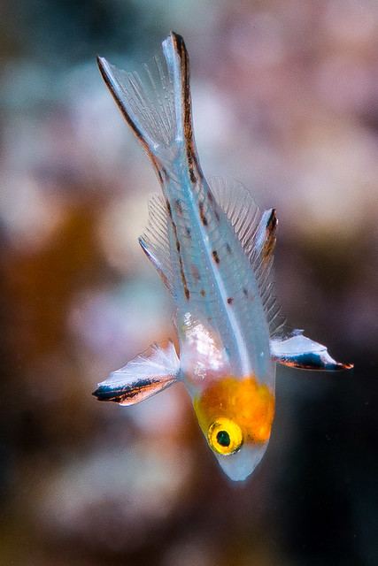 Lyretail Hogfish, juvenile - Bodianus anthioides