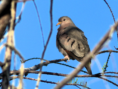 Common Ground-Dove 20170309