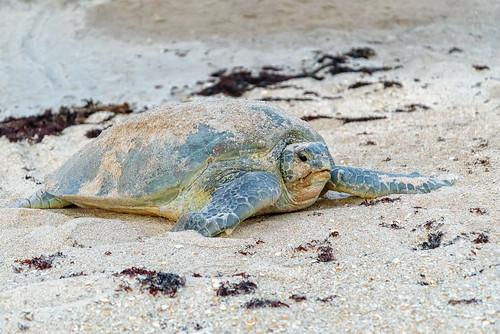 sunrise turtle melbournebeach greenturtle chuckpalmer archiecarr