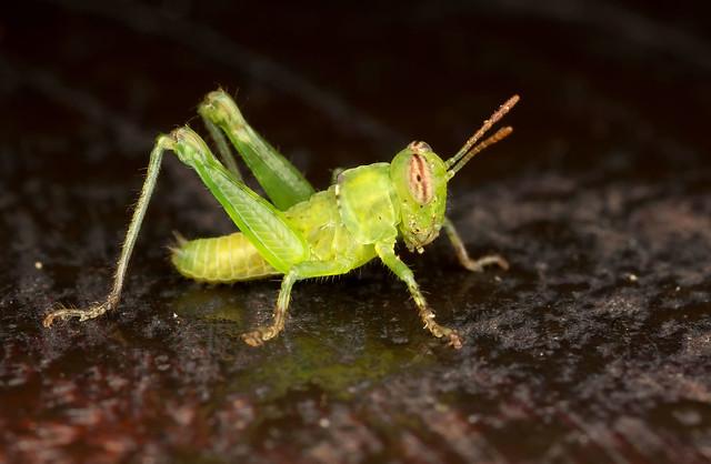 Small Grasshopper at the cabin night find