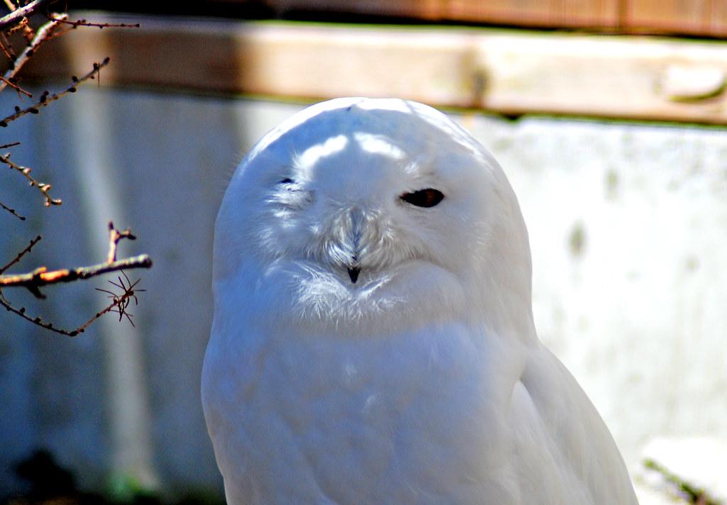 White Owl 04
