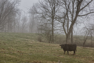 Cow and Fog | by Vincent1825