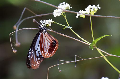nymphalidae danainae parantica sita chestnut tiger china yunnan butterfly lepidoptera