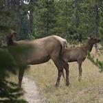 Elk with calf