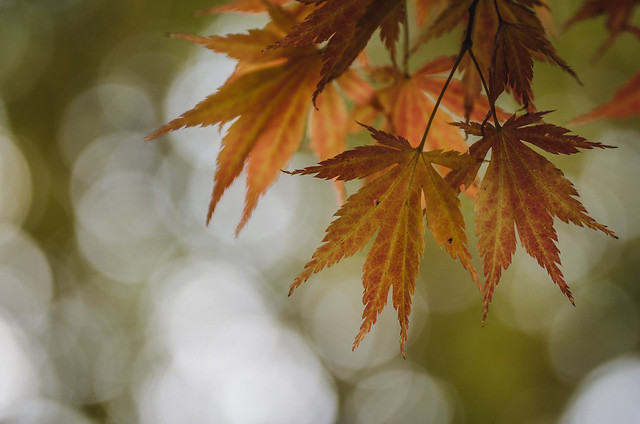 Maple leaves in Ohlsdorf