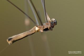 Daddy-long-legs spider (Pholcus cf. negara) - DSC_5684