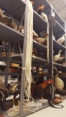 Onagadori chickens